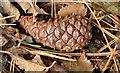 J3977 : Pine cone, Redburn, Holywood by Albert Bridge