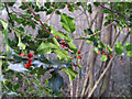 TQ5682 : Holly and berries by Roger Jones