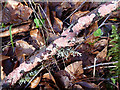 NT4127 : A pink-coloured fungus at Pernassie Hill by Walter Baxter