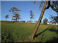 SJ3200 : Leaning trees near Greenfields Farm by Dave Croker