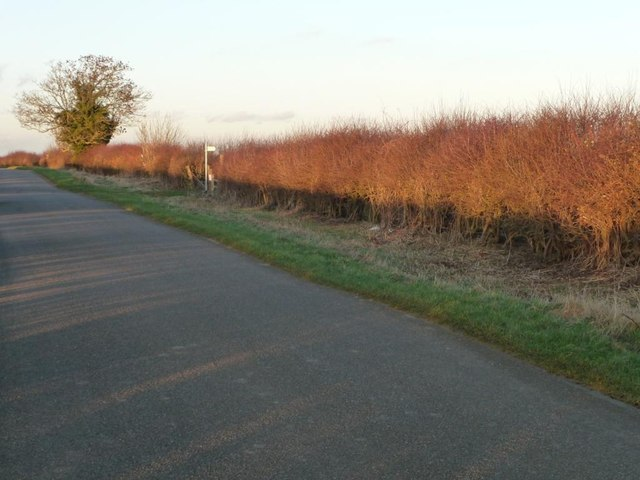 West-facing hedge glowing red in the low winter sun