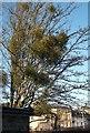 TL4459 : Mistletoe nests by Tiger