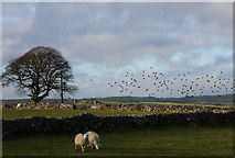 SK1874 : Sheep, starlings and lone tree by Peter Barr
