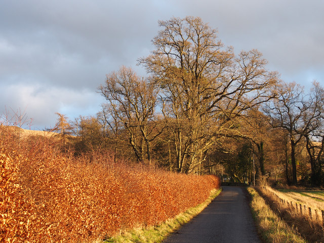 Beech hedge beside minor road to Balcraig