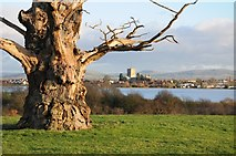 SO8732 : Old oak tree and Tewkesbury Abbey by Philip Halling