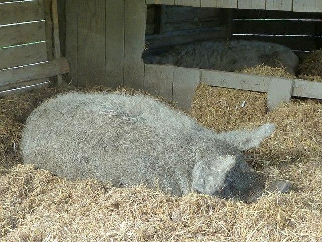 Woolly pigs