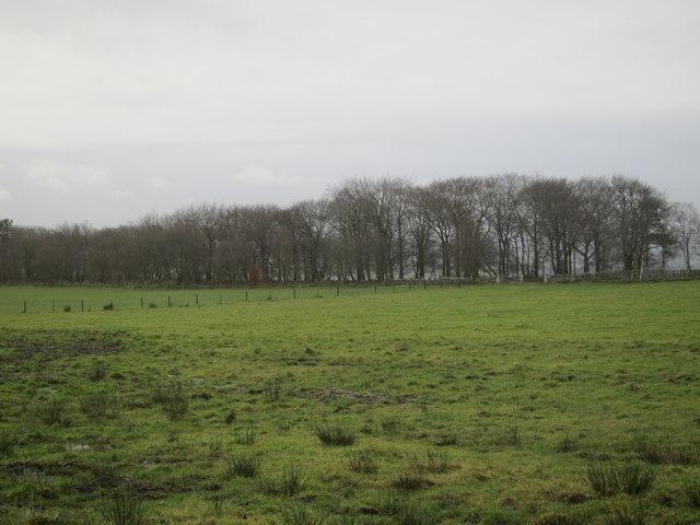 Gun Plantation, a long thin wood as seen from the road