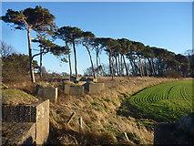 NT6378 : East Lothian Landscape : Blocks, Pines and Field Near Hedderwick Hill by Richard West