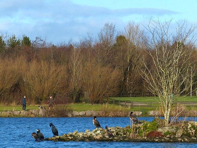 Cormorants, Bryn Bach Park