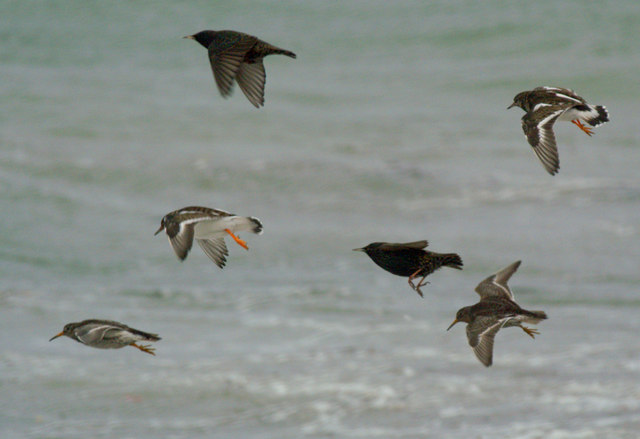 Purple Sandpipers, Turnstones and Starlings, Westing beach