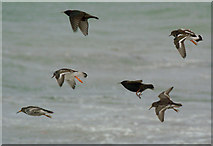 HP5605 : Purple Sandpipers, Turnstones and Starlings, Westing beach by Mike Pennington