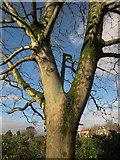 SX9065 : Tree on Cricketfield Road, Torquay by Derek Harper