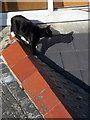 SW5140 : St. Ives: a rooftop cat by Chris Downer