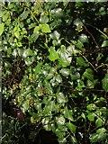 SX9065 : Ivy, Cricketfield Road, Torquay by Derek Harper