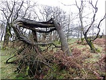 SD6715 : Wounded tree by Philip Platt