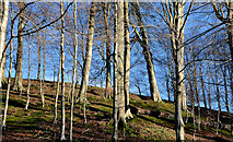 J3268 : Winter beeches, Minnowburn, Belfast - February 2014 by Albert Bridge