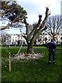 SC3776 : Poppy on a tree by Richard Hoare