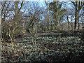 SE5083 : Snowdrops in woodland near Gormire Lake by Trevor Littlewood
