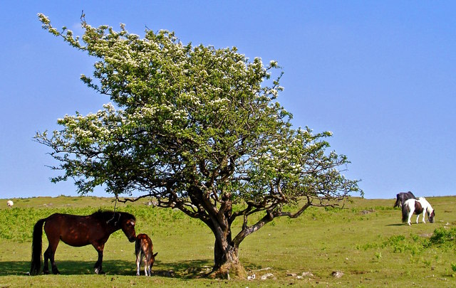 Mare and foal sheltering from the sun near Sharpitor, Dartmoor, Devon
