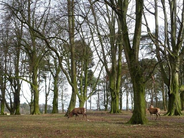 Red deer, eastern Saddleback Plantation, Tatton Park