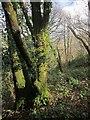 SX4561 : Warleigh Wood by Derek Harper