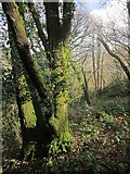 SX4561 : Warleigh Wood by Derek Harper