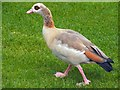 NS3982 : Egyptian Goose by Lairich Rig