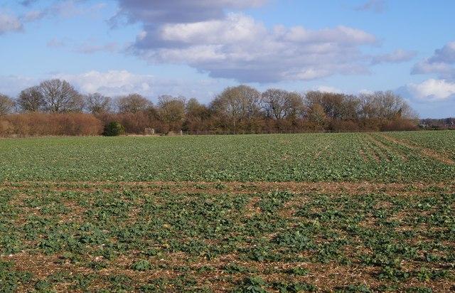 Emerging oilseed rape crop by Sandy B