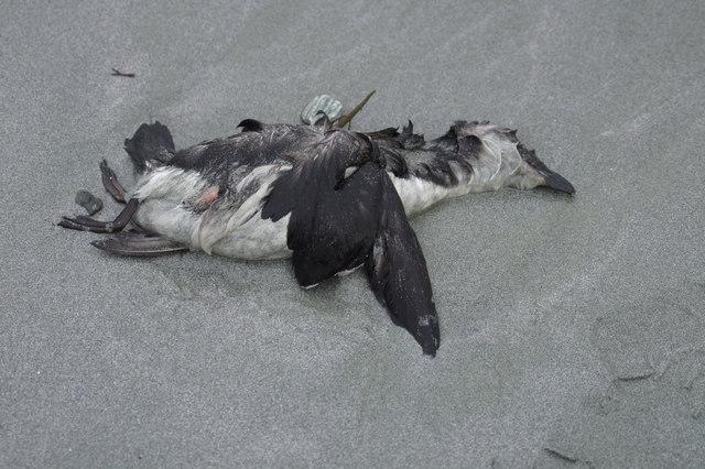 Dead Razorbill (Alca torda), Easting beach