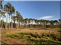 SJ5370 : Black Lake, Delamere Forest by Clive Giddis