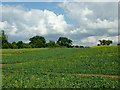 SO8660 : Crop field north of Fernhill Heath, Worcestershire by Roger  Kidd