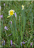 TQ3499 : Early Daffodils, Myddelton House, Enfield, Middlesex by Christine Matthews