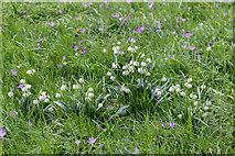 TQ3499 : Snowflakes (Leucojum vernum), Myddelton House, Enfield, Middlesex by Christine Matthews