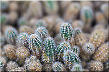 TQ3499 : Cactus in Greenhouse, Myddelton House, Enfield, Middlesex by Christine Matthews