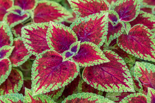 Coleus, Myddelton House, Enfield, Middlesex