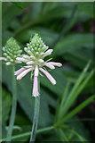 TQ3499 : Forest Lily, (Veltheimia bracteata), Myddelton House, Enfield, Middlesex by Christine Matthews