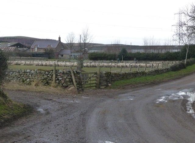 Sheep gathered