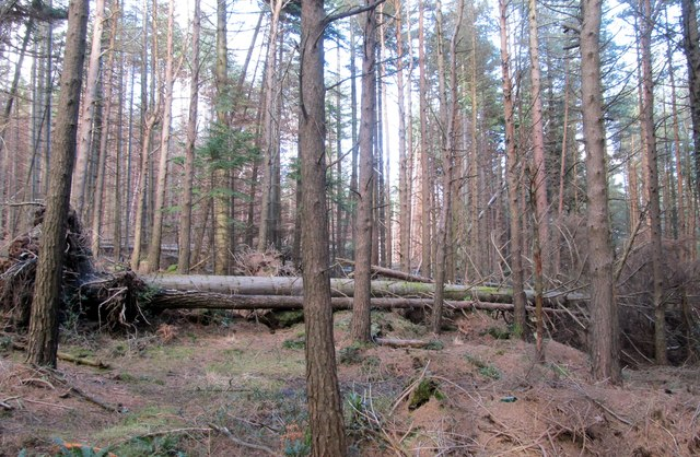 Uprooted trees in Donard Wood