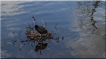 TQ3296 : Coot Building its Nest, New River Loop, Enfield by Christine Matthews