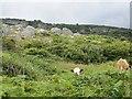 D3314 : Cattle, Antrim Coast by Richard Webb