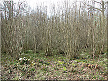 TM1497 : Area yet to be cleared in Lower Wood by Evelyn Simak