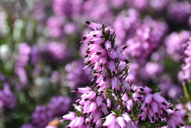 Delamere Heather