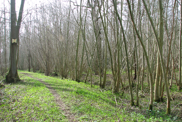 Narrow path in Lower Wood