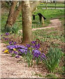 SX9265 : Crocuses, Millennium Green, St Marychurch by Derek Harper