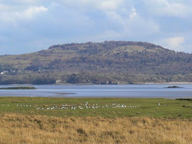 Sea-birds on the salt marsh