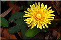 J3268 : Dandelion flower, Minnowburn, Belfast - March 2014 by Albert Bridge