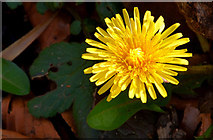 J3268 : Dandelion flower, Minnowburn, Belfast - March 2014 by Albert Bridge