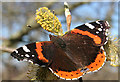 NJ2366 : Red Admiral (Vanessa atalanta) by Anne Burgess