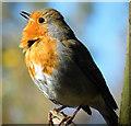 NJ2469 : Singing Robin (Erithacus rubecula) by Anne Burgess
