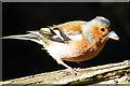 NJ2469 : Chaffinch (Fringilla coelebs) by Anne Burgess
